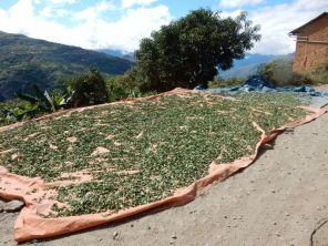 Coca-Blätter am Weg Evo Morales, der Präsident Boliviens, ist Coca-Bauer