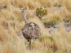 Nandu - ein scheuer Laufvogel. Geschwindigkeit beim Fotografieren ist gefragt.