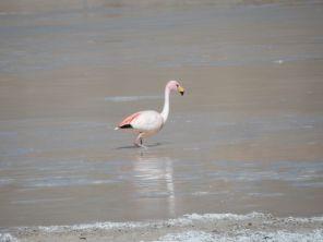 Flamingo beim Vulkan Galan