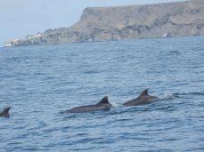 Delphinfamilie bei Punta de Choros