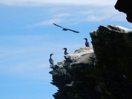 Kormorankolonie vor Punta de Choros