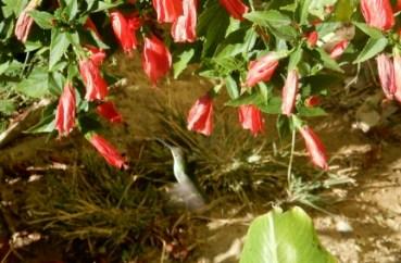 """Sigrid """"erwischt"""" einen Kolibri bei seinem Mittagessen ..."""