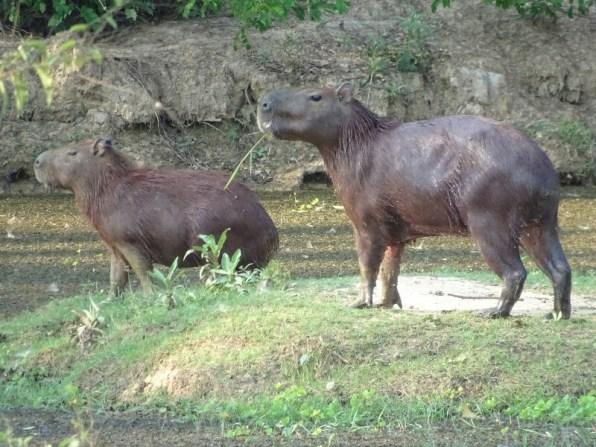 Heute mittag in der Suhle ... Capybaras sind die größten Nagetiere.