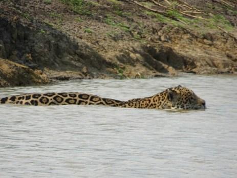 Auf ihrem Streifzug durch ihr Revier überqueren sie mehrmals den Fluß