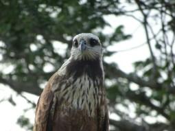 Junger Hawk