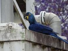 Mir gefallen die Arara Azul - auch wenn dieser hier nicht unbedingt in artgerechter Umgebung sitzt