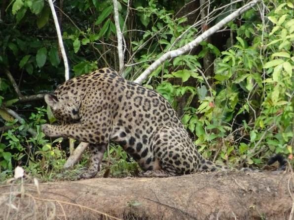 Jaguar bei der Pflege - eigentlich wie eine Hauskatze ...
