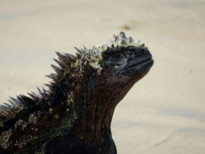 Bei Leguanen muss man aufpassen, dass man nicht drauf tritt.