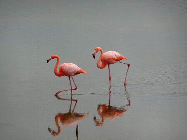 Flamingos in Isabela