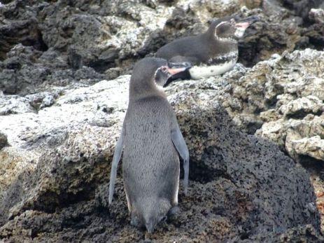 Auf Galapagos gibt es nur ca. 3.000 Pinguine