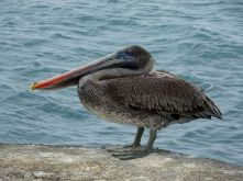 Pelikan im Hafen von Floreana