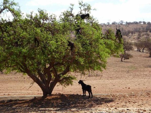 Ziegen in Bäumen - gibt´s wirklich, nichts ungewöhnliches in Marokko