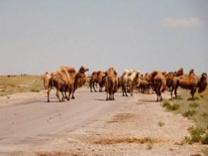 Kamele - Von der russisch-kasachischen Grenze nach Atyrau