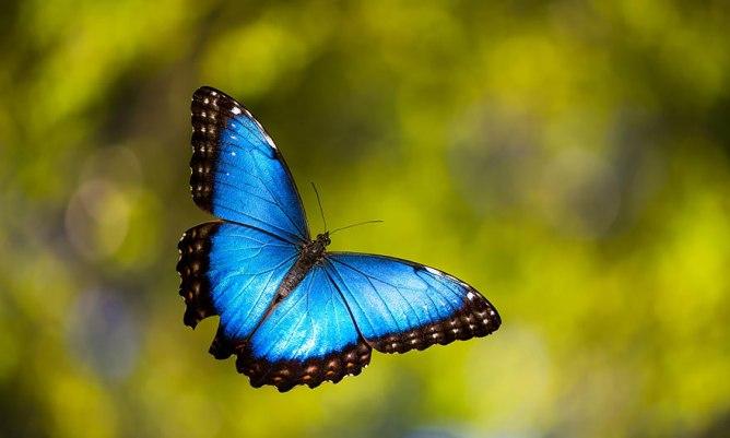 butterfly Blue Morpho