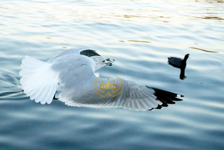 Seagull in Flight  - Wildlife and Nature Photography by Toni Payne