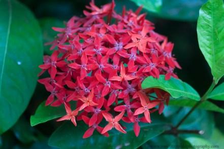 Maui flowers (3 of 3)
