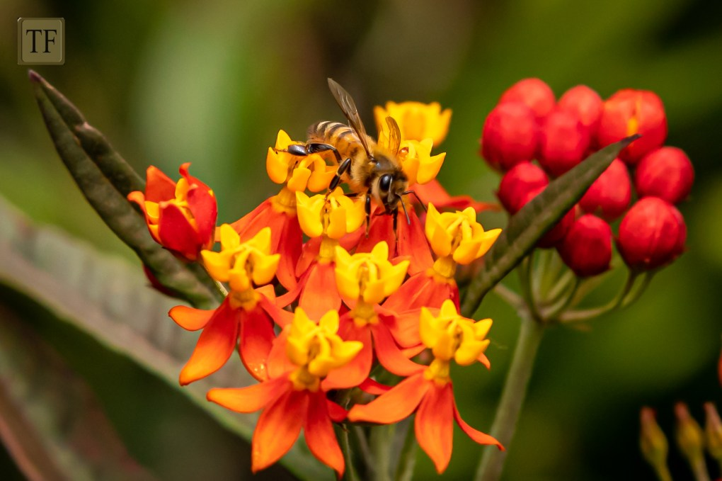 honey bee on red and orange milkweed flower