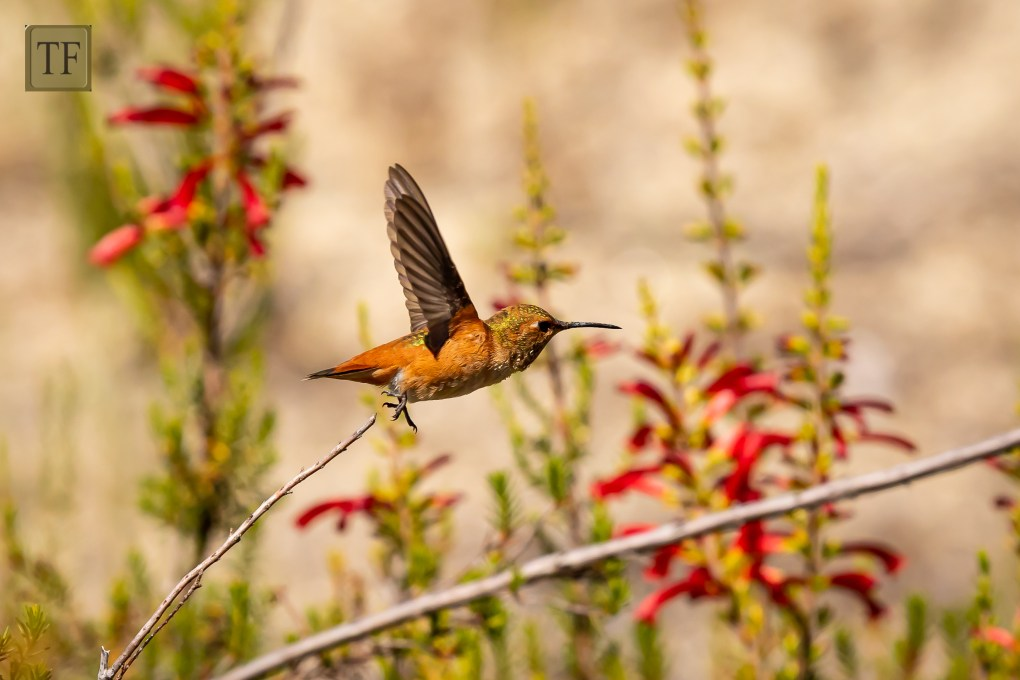 Orange hummingbird flying around red flowers