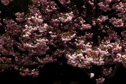 Cherry blossoms-3