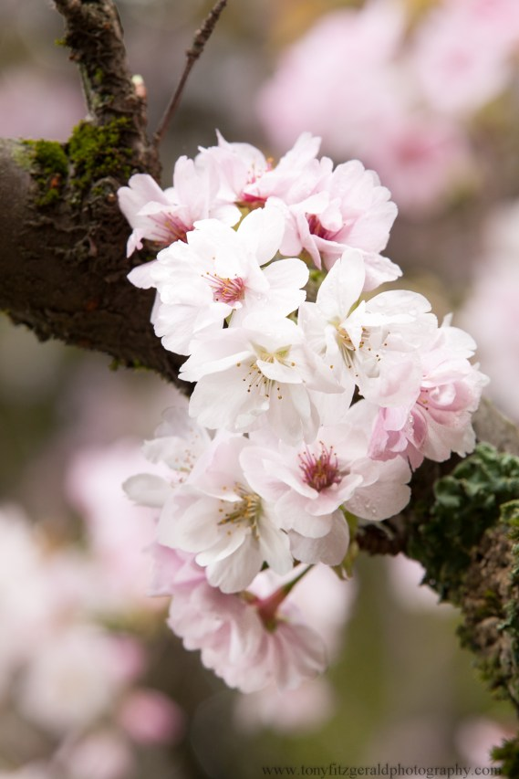Cherry blossoms-6