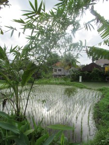 Rice paddies along Jalan Bisma.