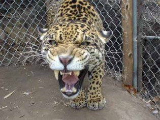 Some of the residents were more grateful than others for their food. The Jaguar was way beyond nice manners – when the jungle's top predator gets hungry it's generally best not to get in the way. Or fall over on your way out of the enclosure…