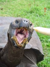 Meldrew, a Giant Galapagos Turtle, ate mostly fruit. And anyone sat too close would end up wearing whatever he didn't like!