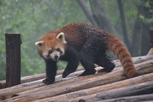 Chengdu-Red-Panda