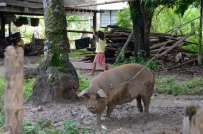 Islands-pig-and-kid