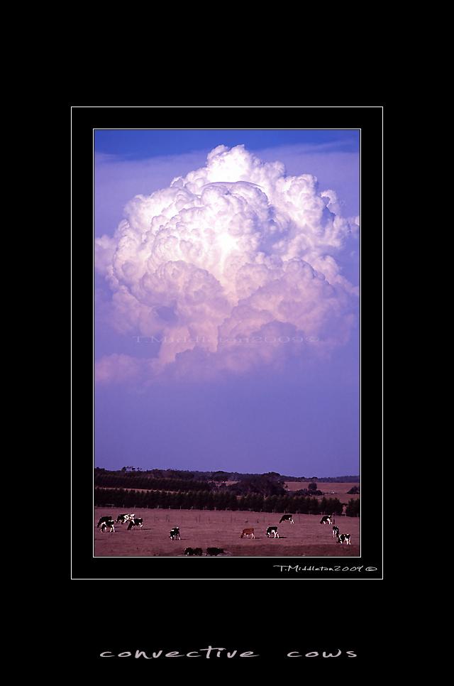 convective cows