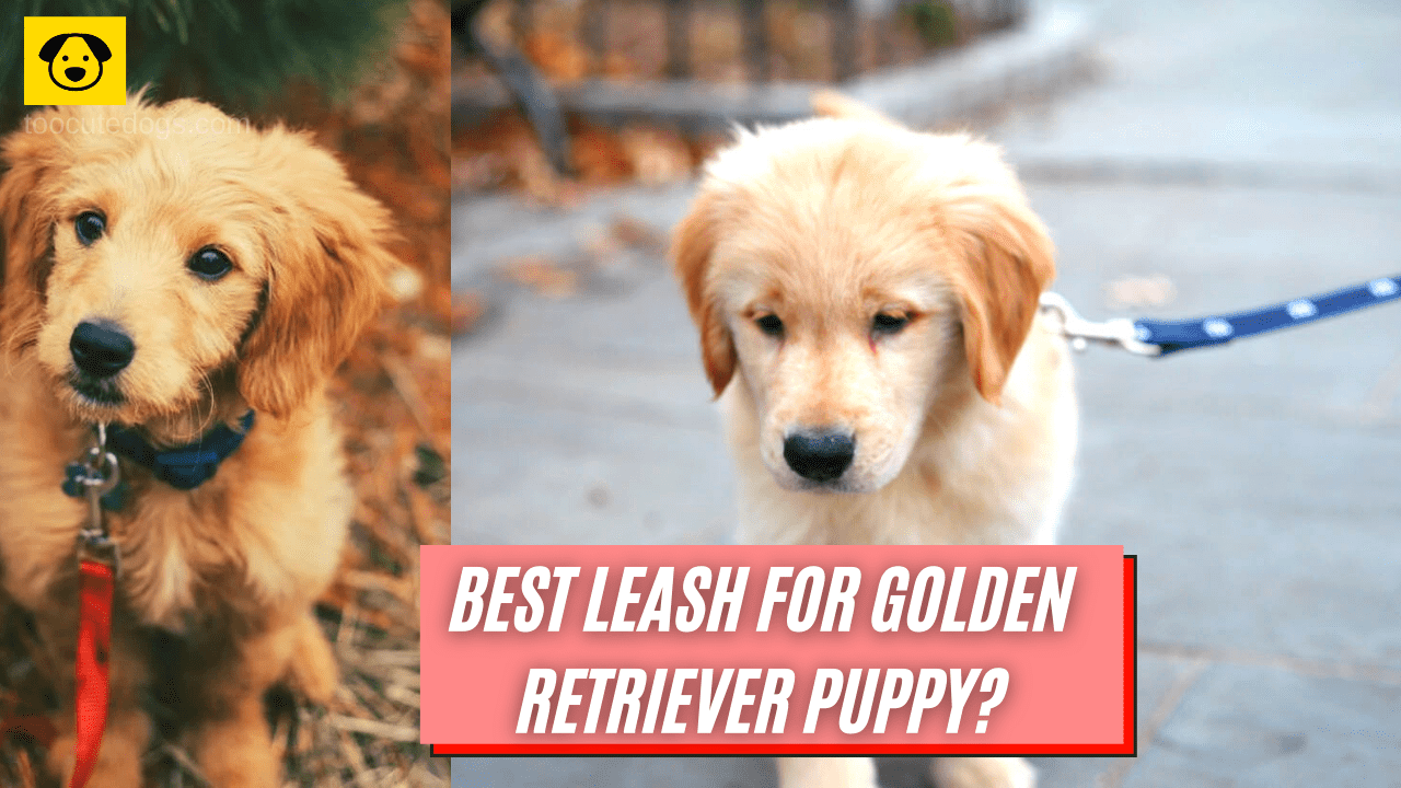 best leash for golden retriever puppy