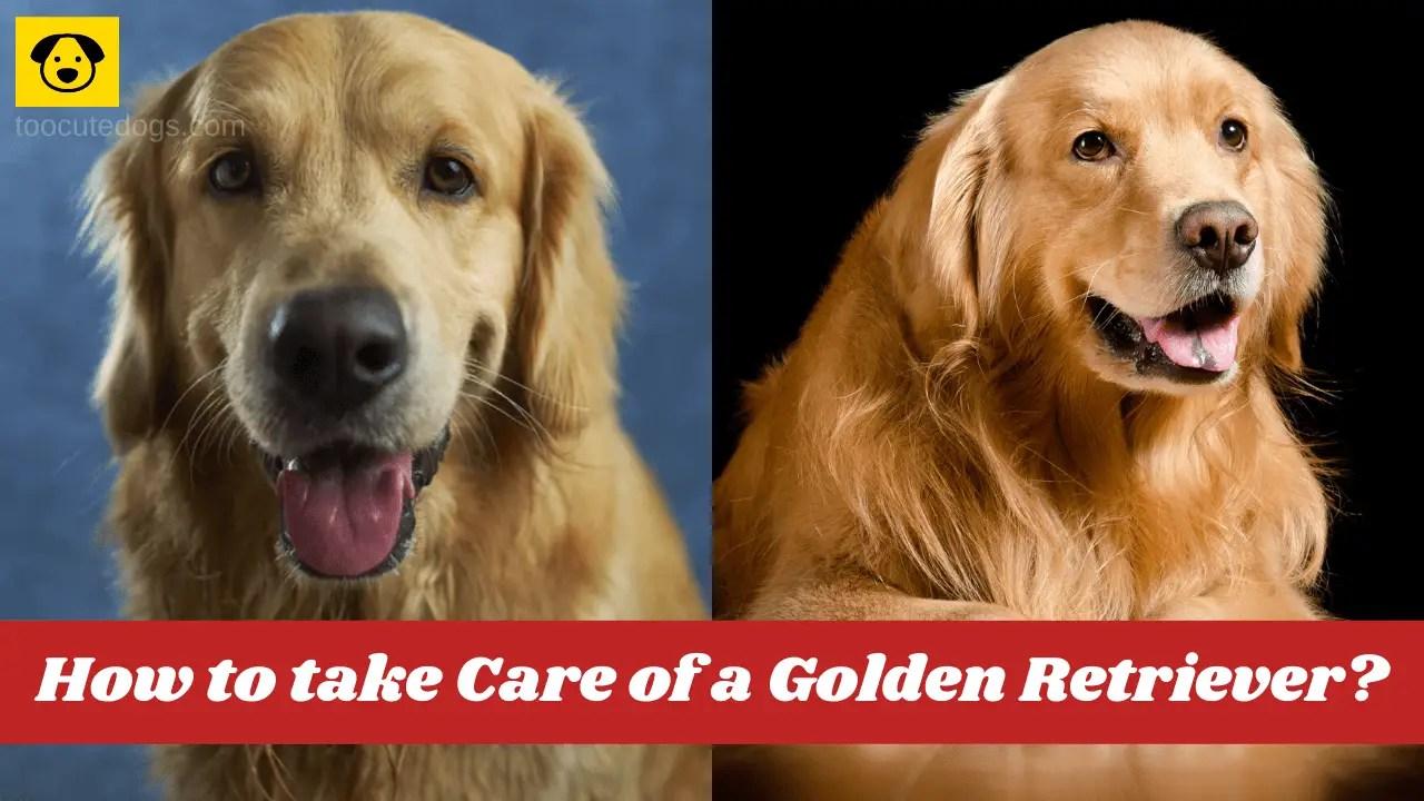 How to take Care of a Golden Retriever
