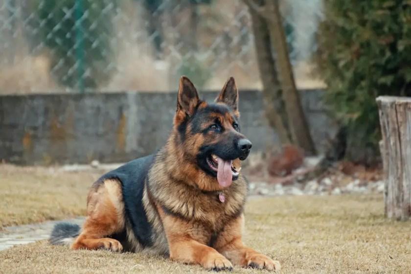 german shepherd sitting