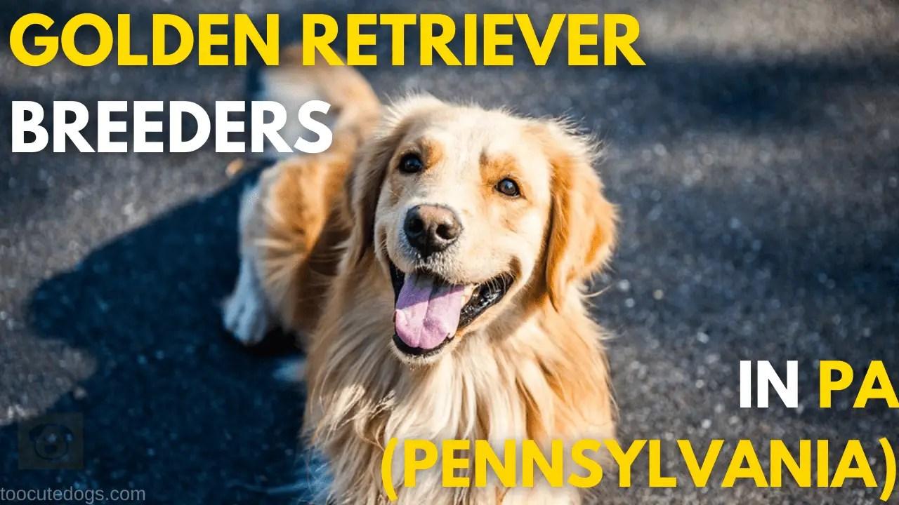 Golden Retriever Breeders In PA