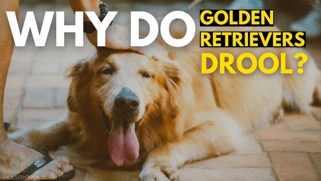 why do golden retrievers drool