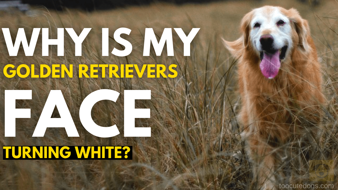 Why Is My Golden Retrievers Face Turning White