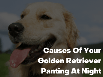 Causes Of Your Golden Retriever Panting At Night