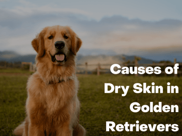 Causes of Dry Skin in Golden Retrievers