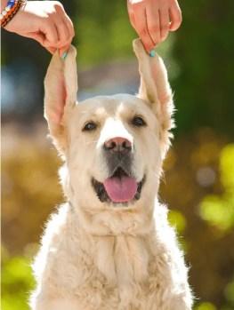GoldenRetriever Ear
