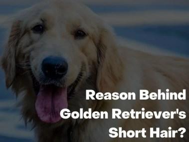 Reason Behind Golden Retriever's Short Hair