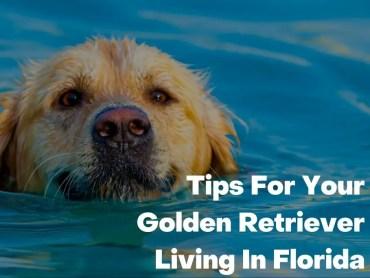 Tips For Your Golden Retriever Living In Florida