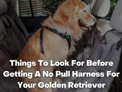 Things To Look For Before Getting A No Pull Harness For Your Golden Retriever