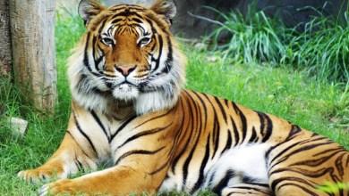 Photo of Habitat Harimau Malaya Dipelihara Elak Kepupusan