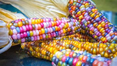 Photo of The Colourful 'Glass Gem Corn' Is Real Beauty!