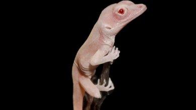 Photo of Saintis Berjaya Menghasilkan Cicak Albino Tetapi Apakah Tujuan Sebenarnya?