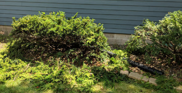 Yew bush after trimming with Milwaukee M18 Fuel Hedge Trimmer