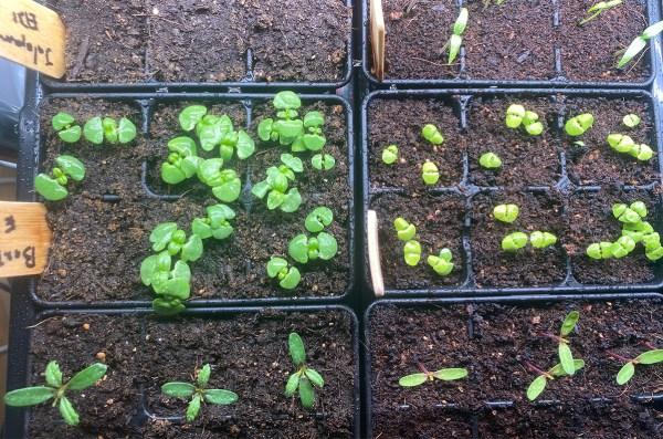 Basil Seedlings at 11 Days