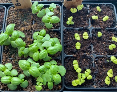 Basil Seedlings at 14 Days View from Above