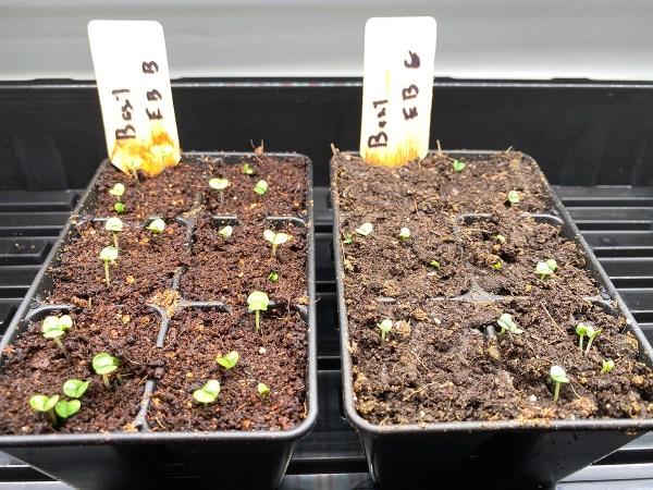 Basil Seedlings at 4 Days