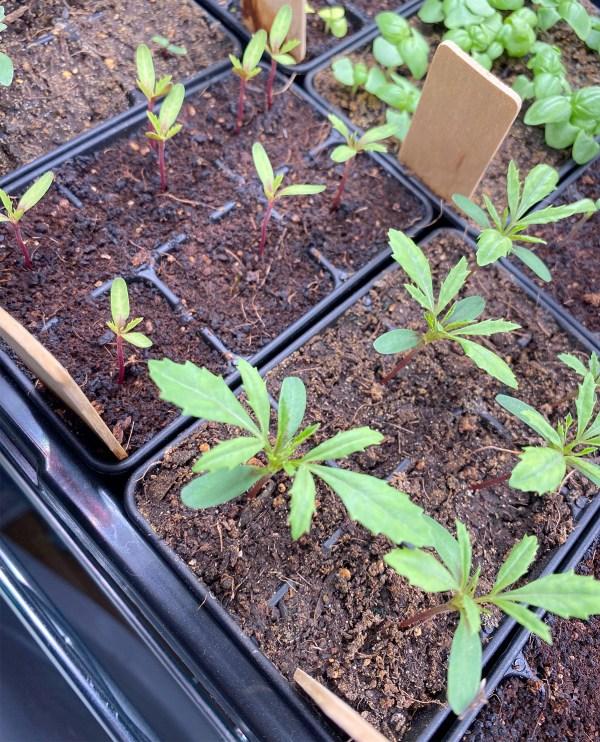 Vanilla Marigold Seedlings at 11 Days Angled View